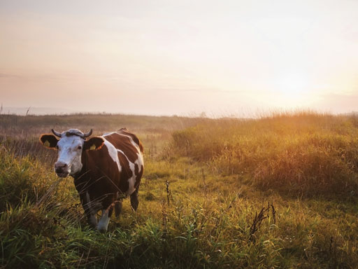 Brown and white bull alone in field