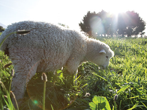 Sheep eating grass on lifestyle farm