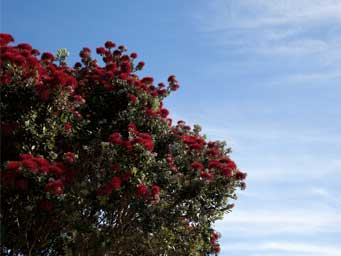 Pohutukawa tree in bloom against a blue sky