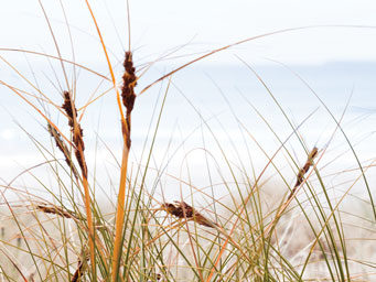 Close up of reddish beach grass