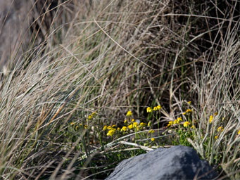 Small yellow flowers surrounded by grasses