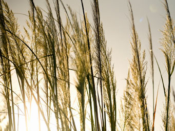 Tall grasses with sunlight shing through