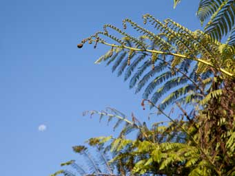 Top of fern leaves against blue sky