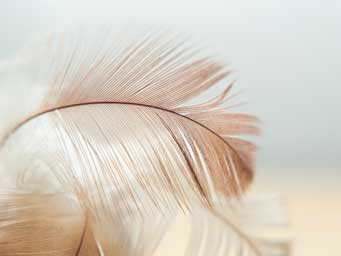 Close up of white feather with brown ends