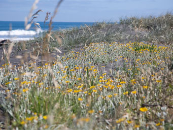 Small yellow flowers in foreground of beach